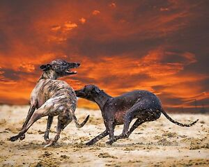 OPEN EDITION LURCHER GREYHOUND PHOTO ART PRINT, MOUNTED to fit 12 x 10 frame