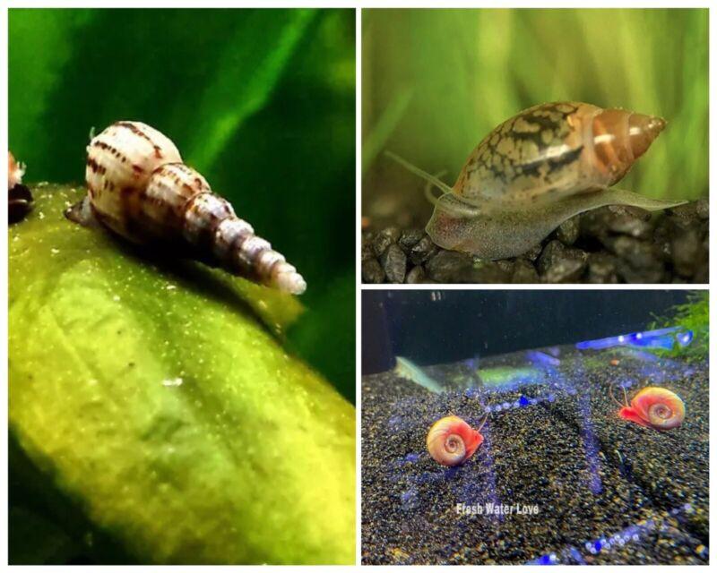 Combo 10+ Ramshorn Snails/Malaysian Trumpet Snails/Pond Snails.
