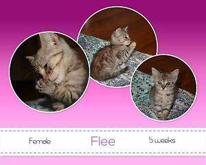 Flee - Soquilichi Rescue Ranch Kippa-ring Redcliffe Area Preview
