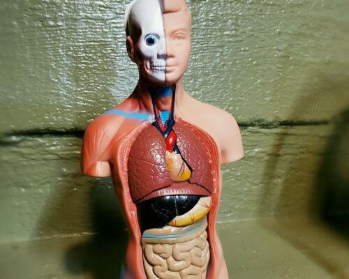Human Torso Model, Human Medical Model, 15 pieces, Oddities, Curiosities