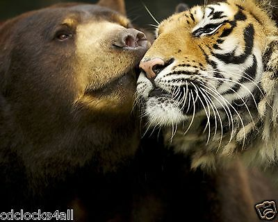 Tiger and Bear / Cat 8 x 10 GLOSSY Photo Picture Image #18