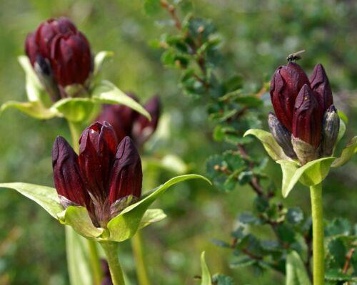 50 samen purpur enzian gentiana purpurea duft winterhart steingarten ebay. Black Bedroom Furniture Sets. Home Design Ideas