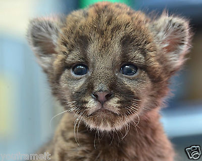 Panther Baby Cub 8 x 10 GLOSSY Photo Picture