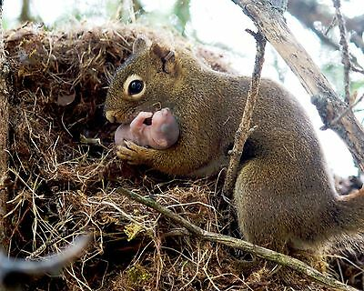 Squirrel and Baby / Squirrels 8 x 10 / 8x10 GLOSSY Photo Picture IMAGE #11