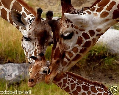 Giraffe Family 8 x 10 GLOSSY Photo Picture Image #3