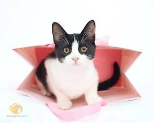 RescueCat Project - Pixie Annandale Leichhardt Area Preview