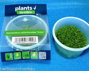 Les herbes à la lamblia chez les enfants