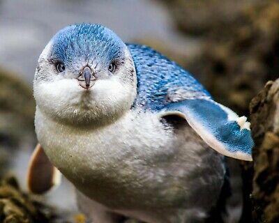 Penguins / Little Blue Penguin 8 x 10 / 8x10 GLOSSY Photo Picture IMAGE #9 - Little Blue Penguins