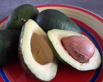 COMMERCIAL SUPPLY OF AVOCADO TREES FOR 2018