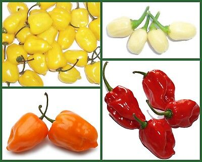 """Used, Habanero Pepper Seeds """"Hot For Habaneros"""" Heirloom Hot Pepper Seeds 4 Pk Special for sale  Shipping to Canada"""