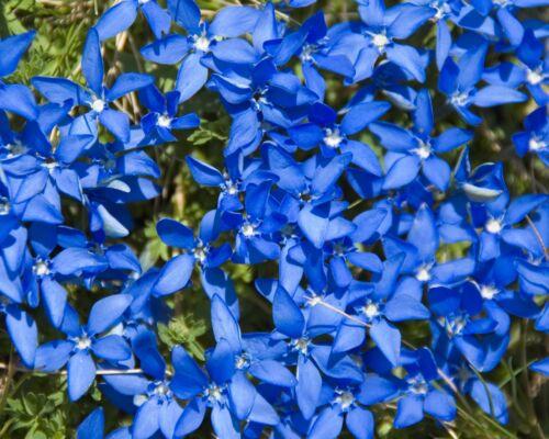 20 samen leuchtend blauer fr hlings enzian gentiana verna winterhart seed ebay. Black Bedroom Furniture Sets. Home Design Ideas