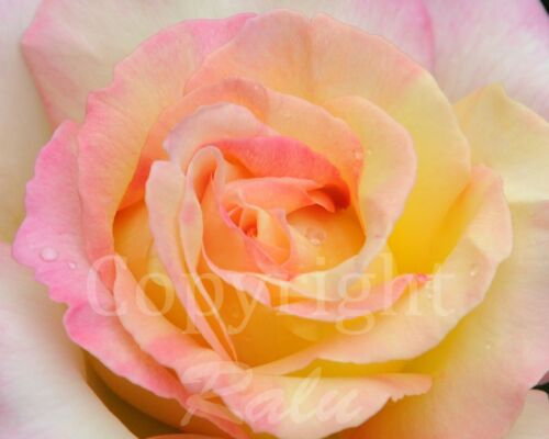 Rose Macro Photo 11x14 Matted Original Photography Floral Flower Picture