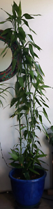 Tall tiger grass bamboo in ceramic blue pot Woolloongabba Brisbane South West Preview