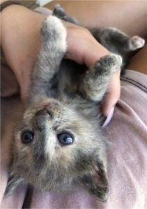 3 cute tabby baby kittens