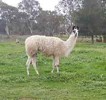 Male Llama - Desexed - Offered by Mungarra Alpacas Table Top Greater Hume Area Preview