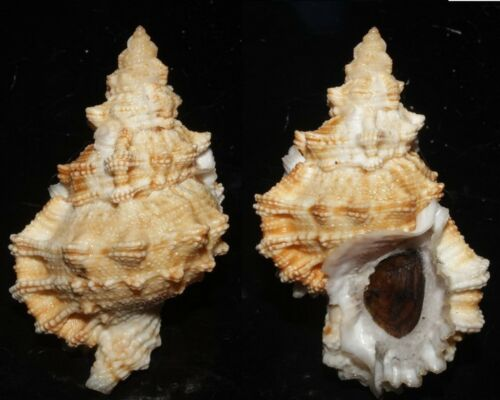 Seashells Tutufa oyamai FROG SNAIL 67mm F+++/GEM w/ operculum Marine Specimen