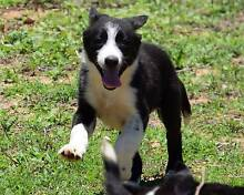 WORKING BRED BORDER COLLIE PUPS Ravenswood Charters Towers Area Preview