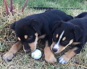 Puppies for sale Cowra Cowra Area Preview