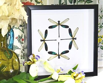 Dragonfly circle shadowbox real taxidermy home decor for sale BJDF4B