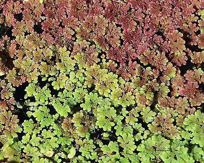 Feenmoos / winterharte Teichpflanzen Gartenteichdeko Teichdeko Schwimmpflanzen