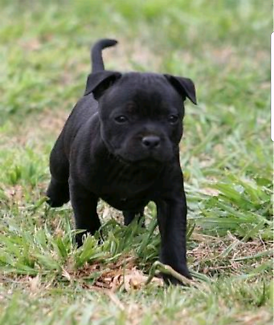 Wanted: Wanted Black Staffordshire..