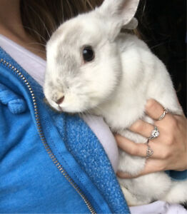 Baby Boy Dwarf Bunny for sale