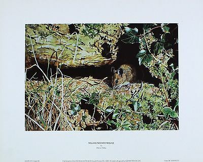 """Martin Ridley """"Yellow-Necked Mouse"""" PRINT New SIZE:40cm x 32cm  RARE"""