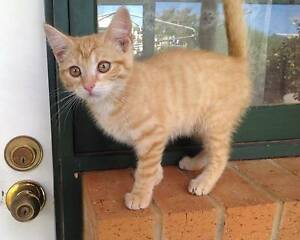 Lovely female ginger kitten 12 weeks old Gawler East Gawler Area Preview