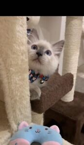 Purebred blue point ragdoll male kitten available now:)