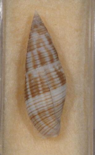 Mitra Variabilis 29mm Broome,West Australia