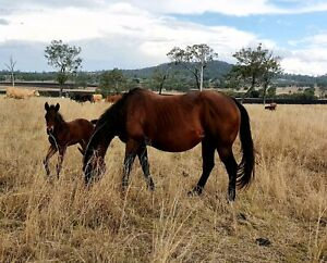 Registered Bay QH mare and foal