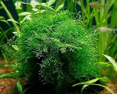 Java Moss Portion In 4 Oz Cup   Easy Live Fresh Water Aquarium Plants