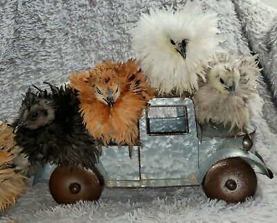 3 Silkie Frizzle Sizzle And Satin Hatching Eggs Ships Monday