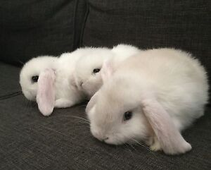 Beautiful pure mini lop bunnies 8 weeks old and ready to go. Frankston Frankston Area Preview