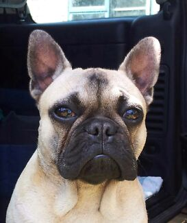 French Bulldog puppys  Beachport Wattle Range Area Preview
