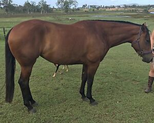 Registered QH Filly by IMP Sire Tamborine Ipswich South Preview