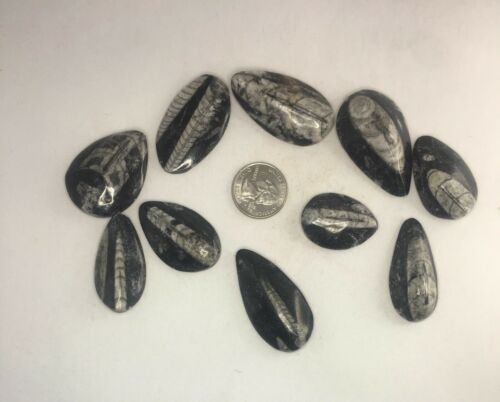 """10PC LOT Small Black ORTHOCERAS POLISHED CABS FOSSIL ≈1.5""""-2"""""""