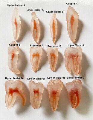 Dental Dentist School Study Model Endodontic Files Practise 3d Teeth Replicas