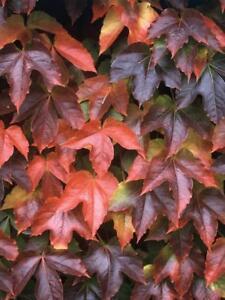 Boston Ivy Plant - Parthenocissus ticuspidata Veitchii - 2.5