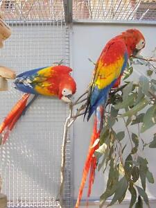 Scarlet Macaw x 2 Handraised females Brisbane South East Preview