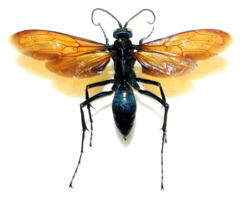Pepsis sp. WASP XXL SIZE! Amazon region. Good examples of this type. VERY RARE!!