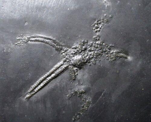 Bundenbach starfish fossil - Urasterella sp - Hunsruck, Germany - Devonian
