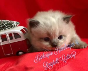 Only 2 Left!!! Majestic Himalayan Ragdoll mix Bicolor