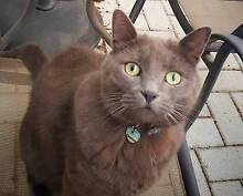 Grey kitty lost in Maylands Maylands Bayswater Area Preview