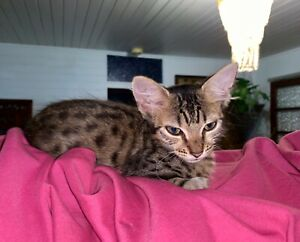 Kittens(Oriental x White Russian mother)(Bengal x Ocicat father)