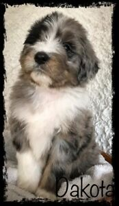 Awesome Aussiedoodle Puppies
