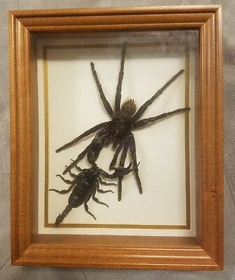 Real Bird Eating Spider & Impria Scorpion Mounted Display Taxidermy