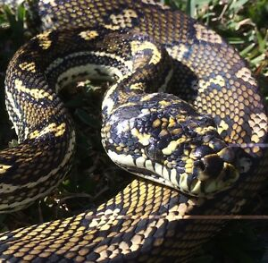 FOUND: Intergrade PYTHON, Yagoona area Eastwood Ryde Area Preview