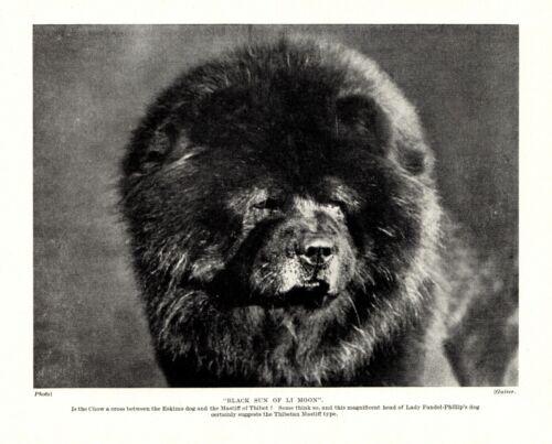 1930s Antique Chow Dog Print Black Sun of Li Moon Chow Head Photo Print 3745a