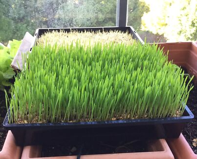 Wheat grass for sale